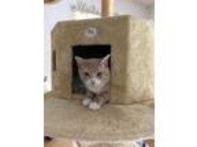 Adopt Prince William a Domestic Short Hair