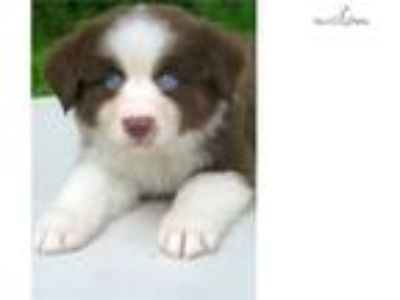 AKC Red Tri Female, Blue eyes