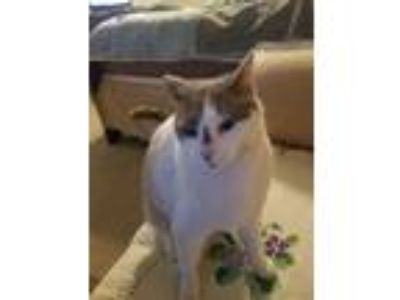 Adopt Casper a White American Shorthair cat in Colorado Springs, CO (25538214)