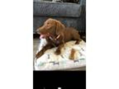 Adopt Coco a Brown/Chocolate Dachshund / Labrador Retriever / Mixed dog in