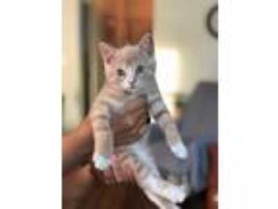 Adopt Heath a Orange or Red Domestic Shorthair (short coat) cat in Woodhaven