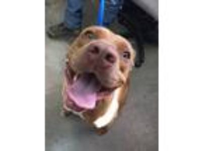 Adopt 14895 a American Pit Bull Terrier dog in Chatsworth, GA (25340824)