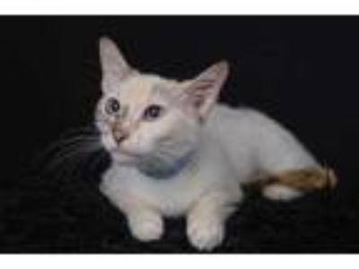 Adopt Blondie a Cream or Ivory Domestic Shorthair / Siamese / Mixed cat in