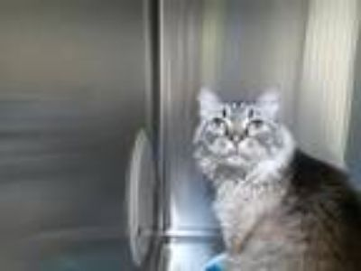Adopt DUCHESS a Domestic Long Hair