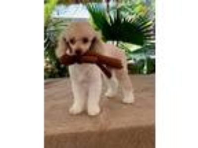 Adopt Izzy a Poodle
