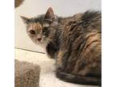 Adopt Blackberry a Gray or Blue Domestic Shorthair / Domestic Shorthair / Mixed