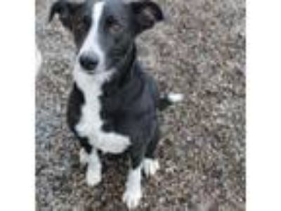 Adopt Sally a Border Collie