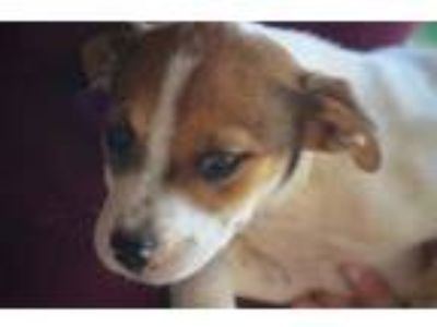 Adopt Blaze a White Beagle / Terrier (Unknown Type, Small) / Mixed dog in