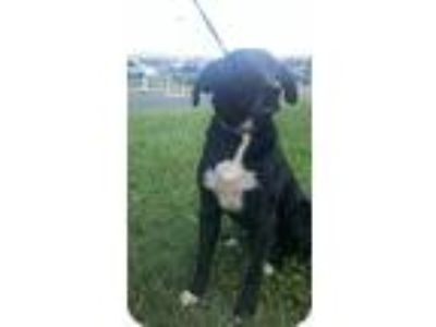 Adopt Duke a Black - with White Border Collie / Labrador Retriever / Mixed dog