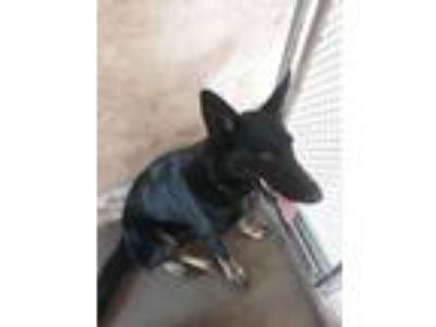 Adopt Jasmin a German Shepherd Dog