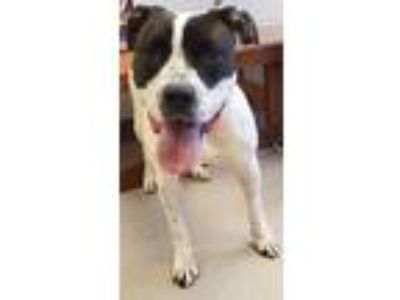 Adopt MARLA a White - with Black Pit Bull Terrier / Mixed dog in Clayton
