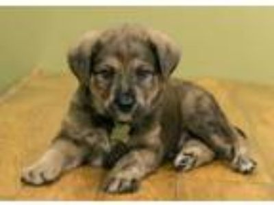 Adopt Chip a Shepherd, Mixed Breed