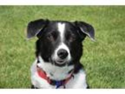 Adopt OREO a Black - with White Border Collie / Mixed dog in Loveland