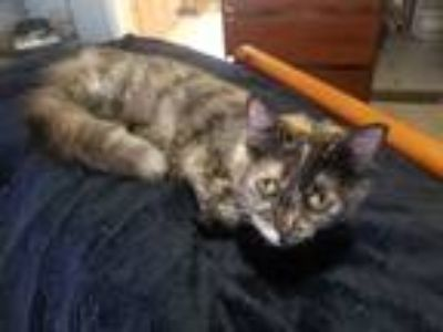 Adopt Meow Meow a Calico or Dilute Calico Calico / Mixed cat in Sedgwick
