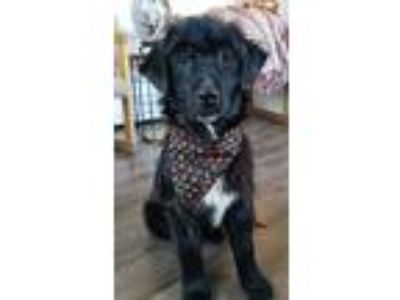 Adopt Noodle a Black - with White Border Collie dog in Denver, CO (25323851)