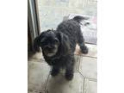 Adopt Hansy a Black Shih Tzu / Mixed dog in San Juan, PR (22659170)