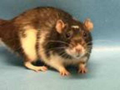Adopt Dennis a White Rat / Rat / Mixed small animal in Golden Valley