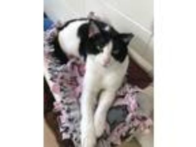Adopt Marti a Domestic Short Hair