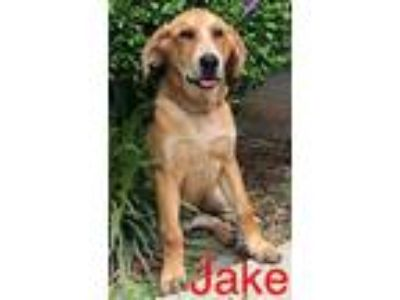 Adopt Jake a Red/Golden/Orange/Chestnut Hound (Unknown Type) / Mixed dog in