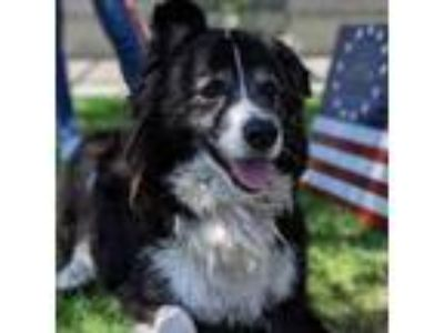 Adopt Rocco a Black German Shepherd Dog / Collie dog in Long Beach