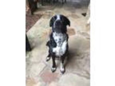 Adopt Ashley a Black Labrador Retriever / Mixed dog in Cumming, GA (24889282)