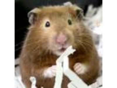 Adopt Babs a Hamster