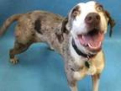 Adopt Sophie a Brown/Chocolate Catahoula Leopard Dog / Mixed dog in Golden