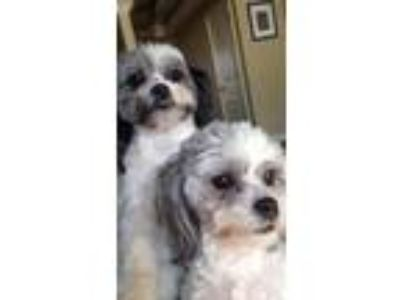 Adopt Apollo and Rocky a Shih Tzu, Bichon Frise