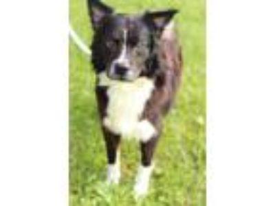 Adopt Blake a Border Collie