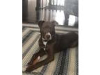 Adopt Piper a Brown/Chocolate - with White Border Collie / Pit Bull Terrier /