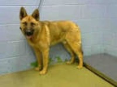 Adopt a Tan/Yellow/Fawn German Shepherd Dog / Mixed dog in Moreno Valley