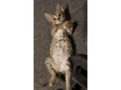 Adopt Figg a Spotted Tabby/Leopard Spotted Domestic Shorthair (short coat) cat