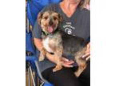 Adopt Red and Lala (Dallas) a Yorkshire Terrier