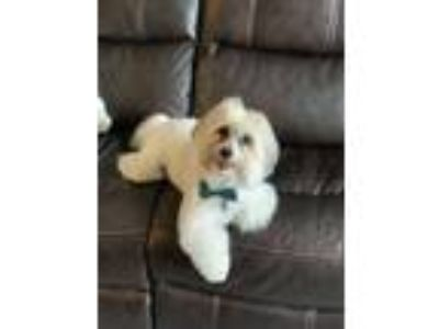 Adopt Beau Bailey a White - with Gray or Silver Coton de Tulear dog in Cranberry