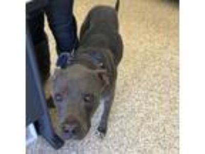 Adopt Sully a Weimaraner, Staffordshire Bull Terrier