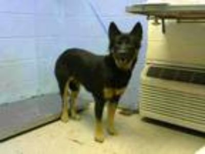 Adopt SOUR CREAM a German Shepherd Dog, Mixed Breed
