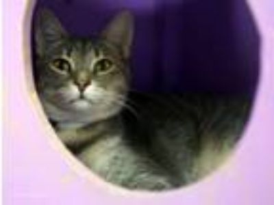 Adopt Pigeon a Gray, Blue or Silver Tabby Domestic Shorthair / Mixed (short