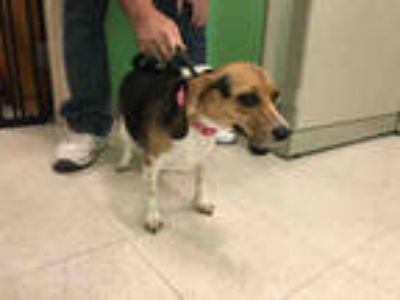 Adopt DORY a Tricolor (Tan/Brown & Black & White) Beagle / Mixed dog in Ames