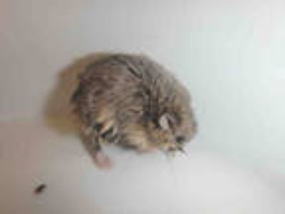 Adopt STEWART a Silver or Gray Hamster / Mixed small animal in Los Angeles