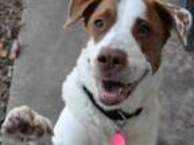 Adopt LOLA a Great Pyrenees, English Pointer