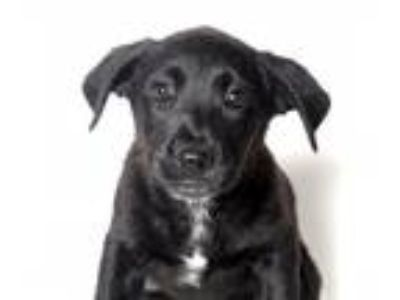 Adopt Ruffle a Black - with White Shepherd (Unknown Type) / Labrador Retriever /