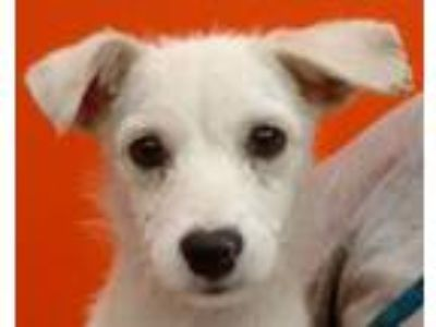 Adopt Serce a Wirehaired Terrier