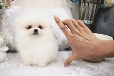 Pomeranian PUPPY FOR SALE ADN-70450 - Teacup White Pomeranian Pearl