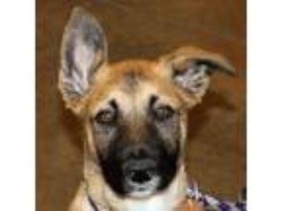 Adopt Meier a Belgian Shepherd / German Shepherd Dog / Mixed dog in Walnut