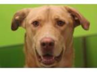 Adopt Taz a Tan/Yellow/Fawn Labrador Retriever / Terrier (Unknown Type
