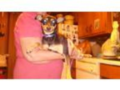 Adopt Tootsie a Black - with Tan, Yellow or Fawn Miniature Pinscher / Italian