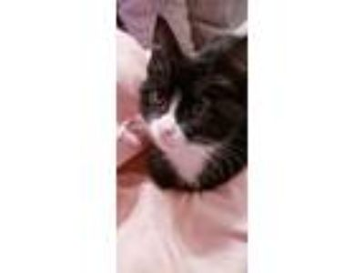 Adopt Mittens a Domestic Shorthair cat in San Angelo, TX (23996647)