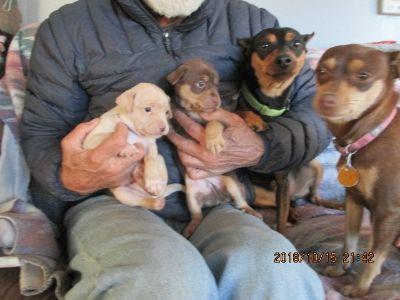 Miniature Pinscher PUPPY FOR SALE ADN-106518 - miniature Pinscher puppies