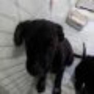 Ash Black Labrador Retriever Dog