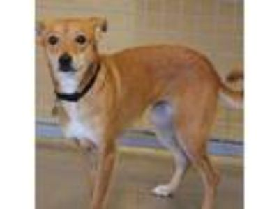 Adopt Josephine a Red/Golden/Orange/Chestnut Whippet / Whippet dog in Atlanta